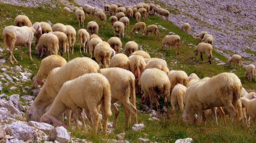 flock sheep browse