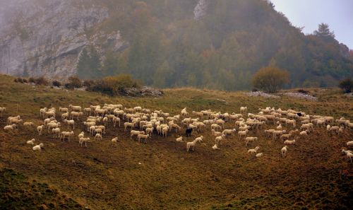 flock sheep prato