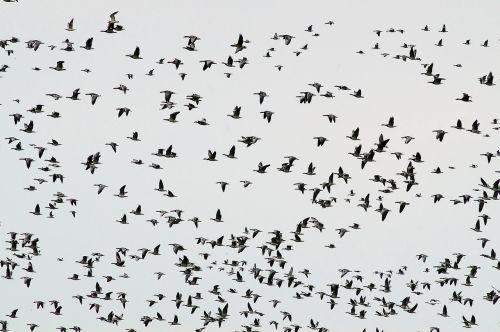 flock of birds migratory birds geese