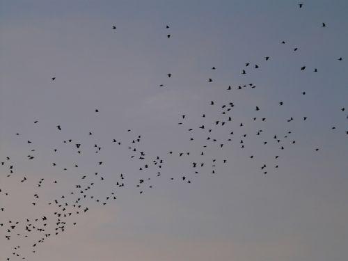 flock of birds birds fly