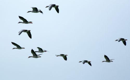 flock of birds swarm migratory birds