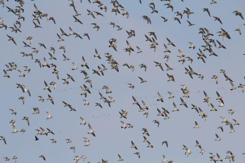 flock of birds geese migratory birds