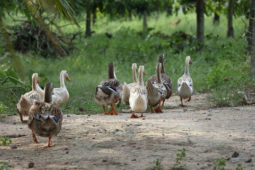flock of ducks  following  leading