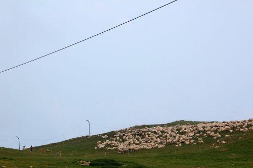 flock of sheep sheep meadow