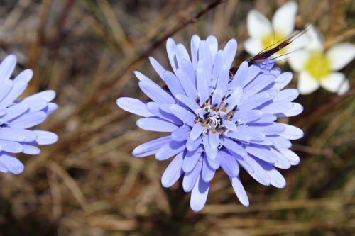 flor jalca cajamarca