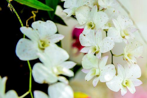 flor arvore paineira