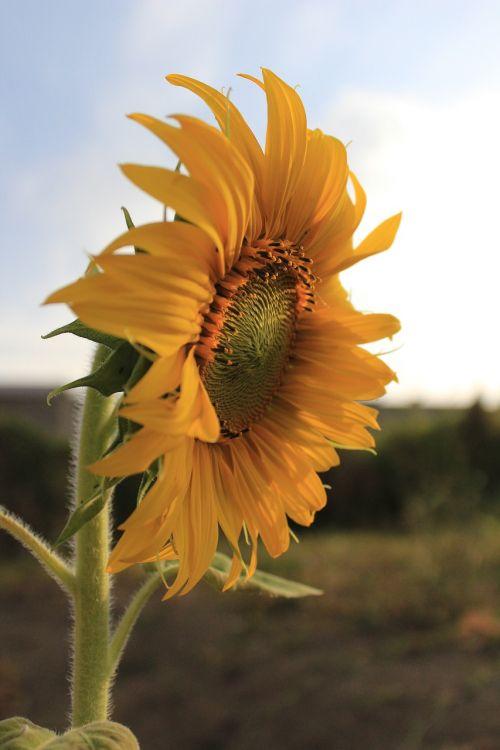 flor girassol lindo