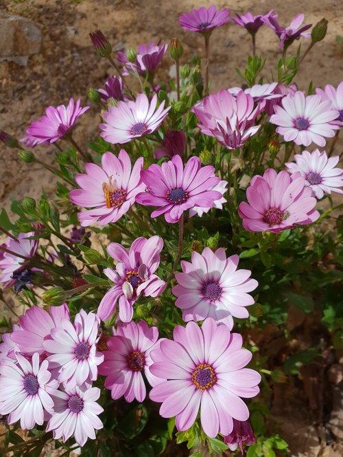 flor  flores  margaritas