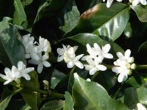 flor de café landscape blooming