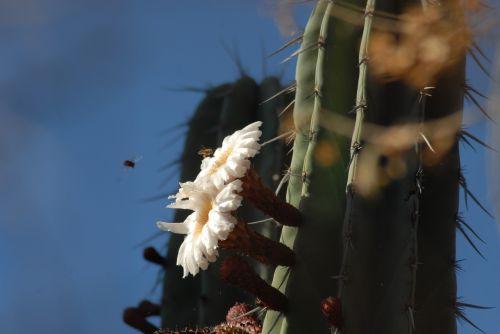 flor de pitaya organo nature