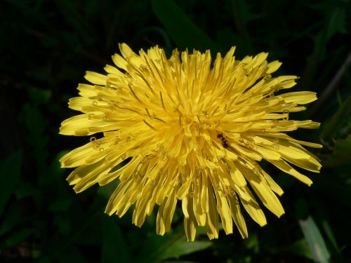 dandelion yellow flora