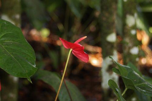 flora flower red