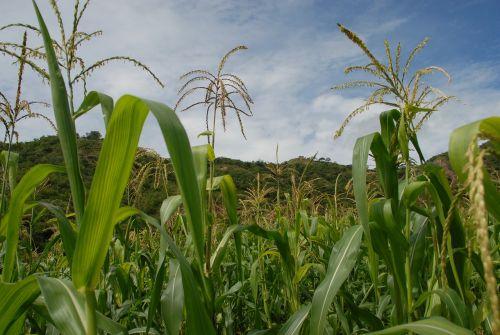 flora wild maize field