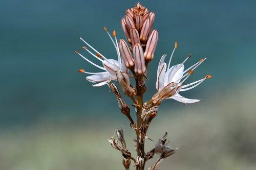 flora  plant  mallorca