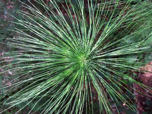 horsetail floral structure