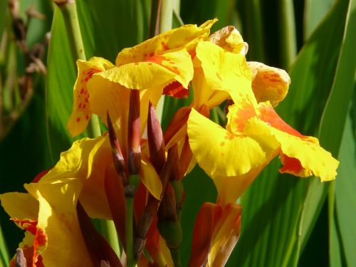 floral tube canna floral tube greenhouse