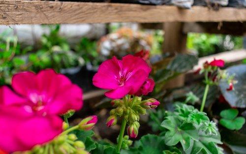 flore  bedding plant  garden plant
