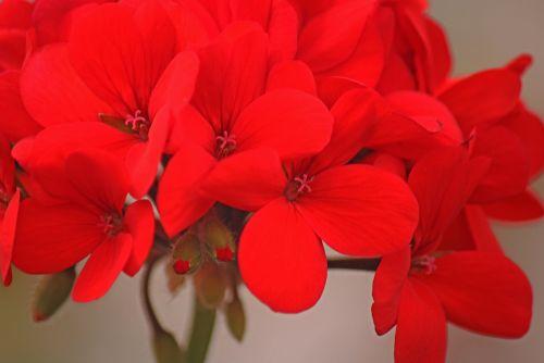 Florets Of Red Geranium Flower