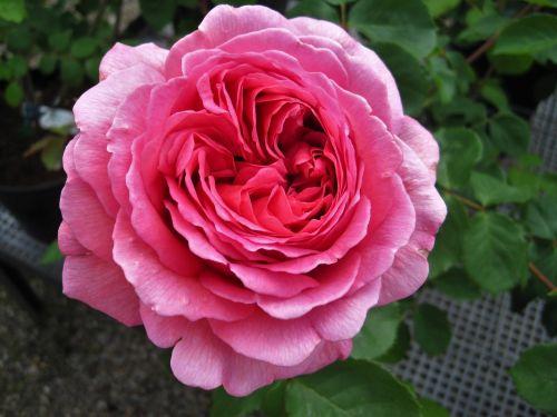floribunda rose filled