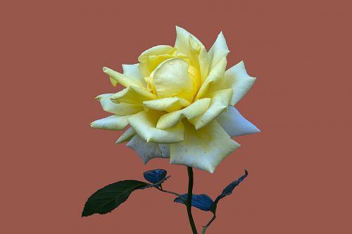 floribunda rosengarten bad kissingen rose city bad kissingen