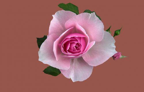 floribunda garden dreaming rosengarten bad kissingen rose city bad kissingen