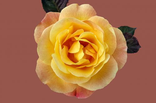 rose floribunda münchner heart rosengarten bad kissingen