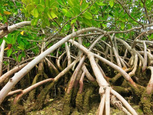 mangroves florida everglades