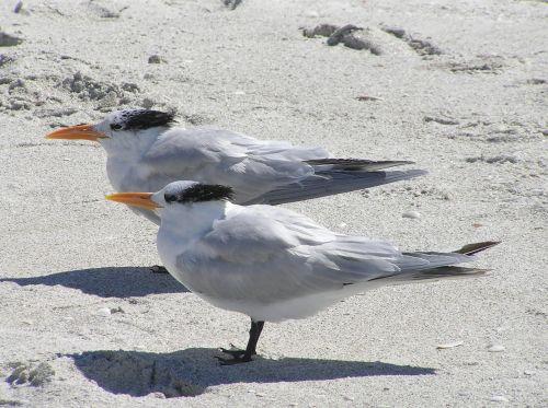 florida royal tern royal terns