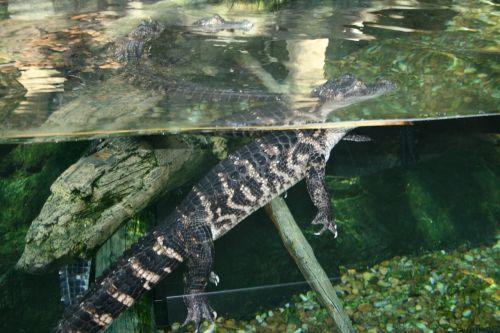 florida aquarium american crocodile