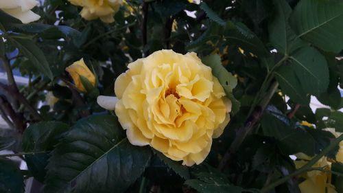 flourish ros roses