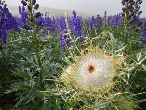 flower thistle pyrenees