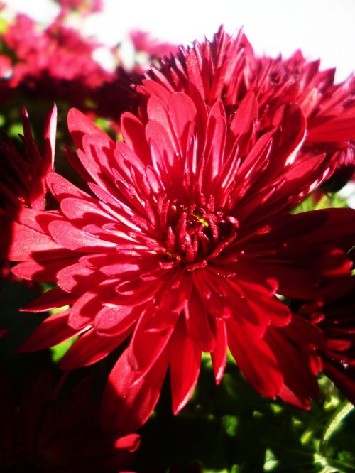 asters flower red