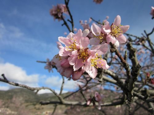 flower almond tree almond flower