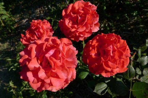 flower rosa color