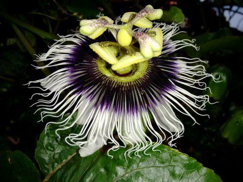 flower passion fruit branch