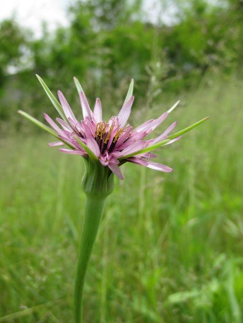 flower violet rosa