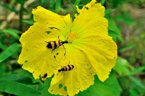 flower spanish fly luffa cylindrica