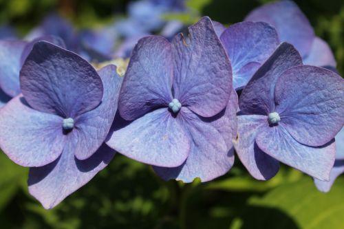 flower hortensia blue
