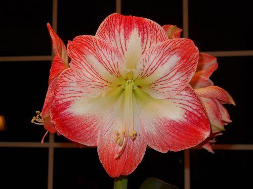 flower amaryllis blossom