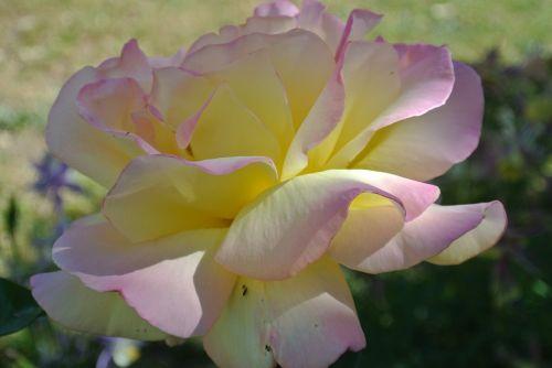 gėlė,rožė,taika,rožinis,gėlių,žiedas,balta,gamta,romantiškas,pavasaris,vasara,žalias,pavasario gėlės,geltona,geltona gėlė,rožinė gėlė