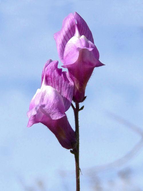 flower snapdragon bunnies