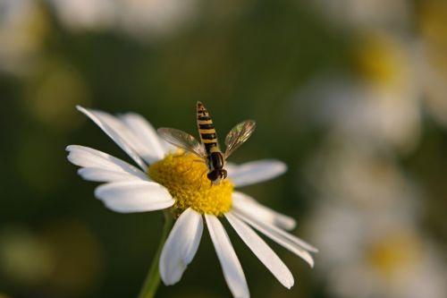 gėlė,augalas,gėlės,geltona,gamta,balta,Daisy,vabzdys,vasara,pestřenka,bilietai,žiedlapiai,žydėjimas,spalvos,balta gėlė