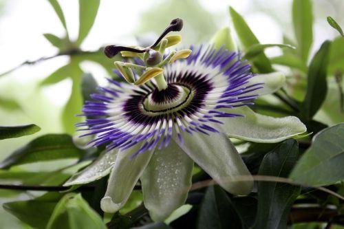 passiflora passion flower passion vines