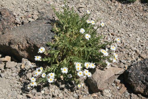 flower frugal karg