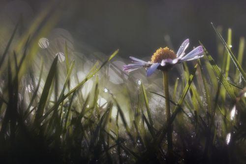 flower dew daisy