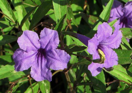 flower petunia nightshade