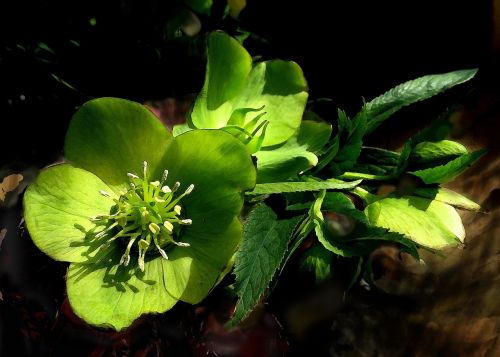 hellebore flower green