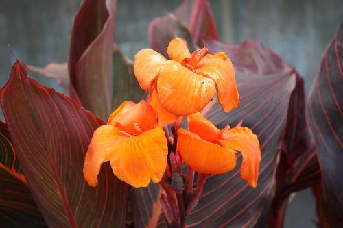 canna lily canna hybrid flower