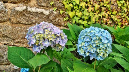 hydrangea flower brittany