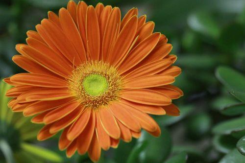 flower close up gerbera